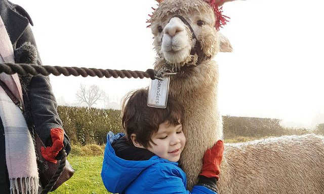 Alpaca reindeer and child