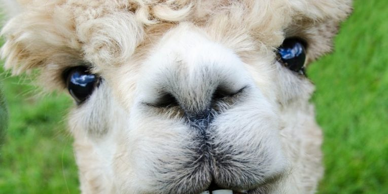 close up on alpaca's face